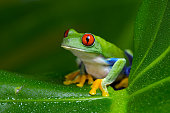 Red-Eyed Amazon Tree Frog (Agalychnis Callidryas) on wet palm leaf