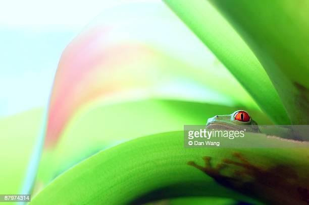 Red-eyed tree frog behind leaf