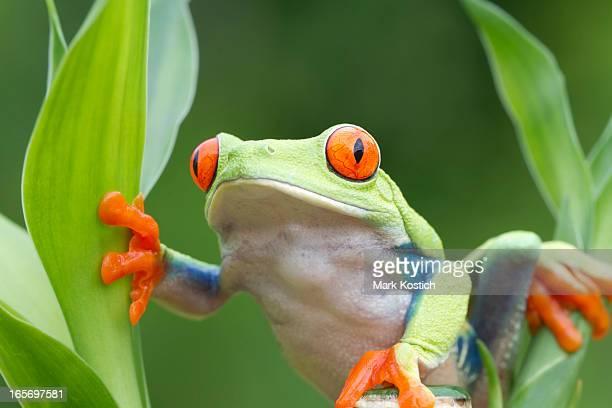 Red-Eyed Tree Frog Climbing