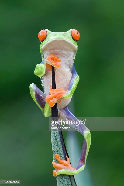 Red-eyed Tree Frog Climbing to the Top