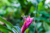 Agalychnis callidryas (red-eyed tree frog)