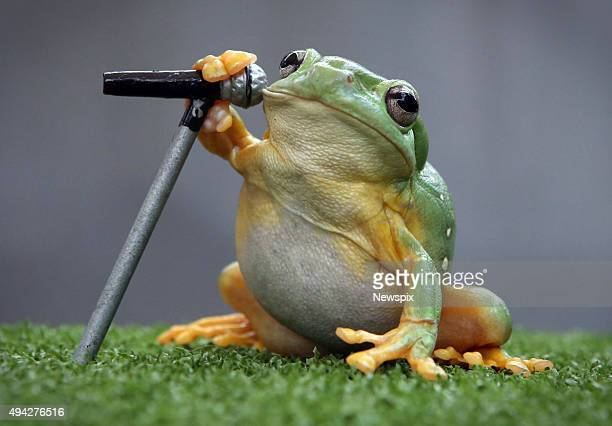 A redeyed tree frog from Geckoes Wildlife pictured with a mini microphone in Brisbane Queensland to illustrate a story about a new app that can...