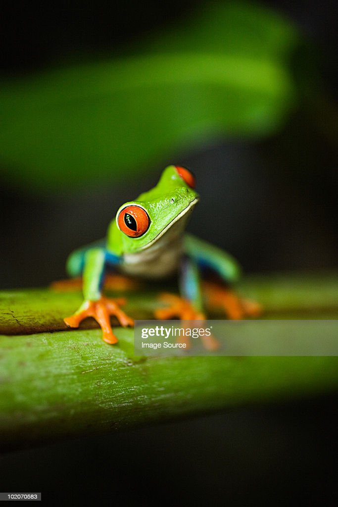Red-eyed tree frog in costa rica : Stock Photo