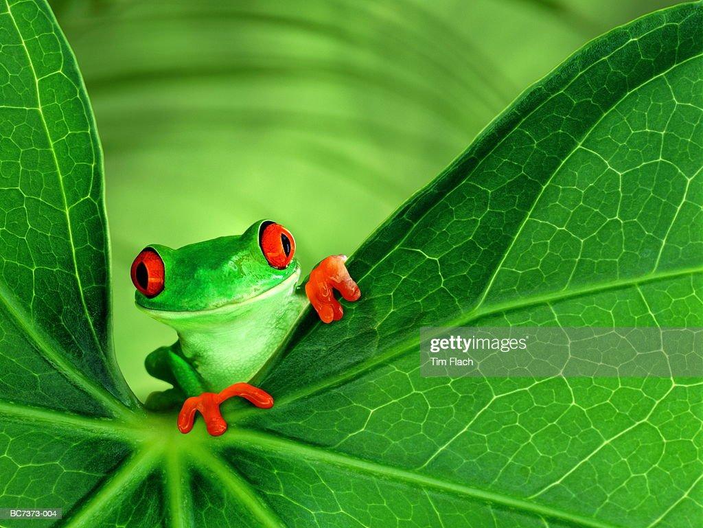 Red-eyed tree frog (Agalychnis callidryas) on leaf (Composite) : Stock Photo