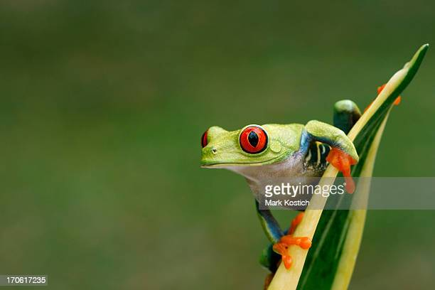 Red-eyed Tree Frog on Snake Plant- Nature Background