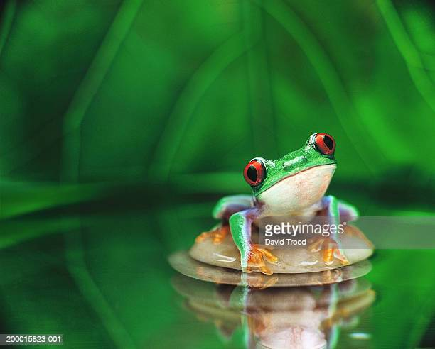 Red-eyed tree frog (Agalychnis callidryas), (Digital Enhancement)
