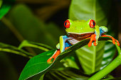 A close up of a Red-eyed Treefrog in Costa Rica