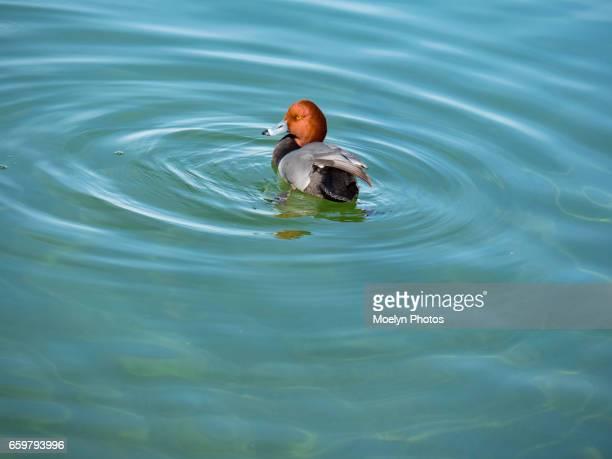 Redhead Male-Lake Mead