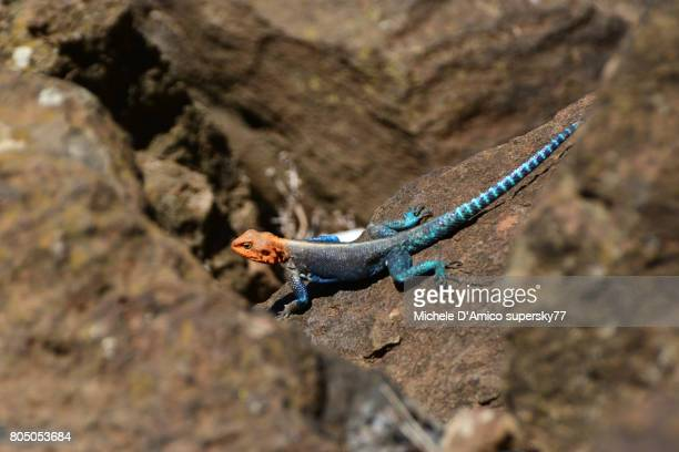 Red-headed rock agama on the rocks under the sunshine