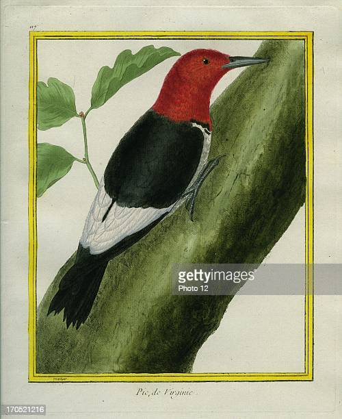 Redheaded Woodpecker Melanerpes erythrocephalusRedheaded WoodpeckerGeorgesLouis Leclerc Comte of Buffon 'Natural History of birds fish insects and...