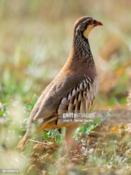 A red-legged partridge (Alectoris rufa), camouflaged in the grass of the field