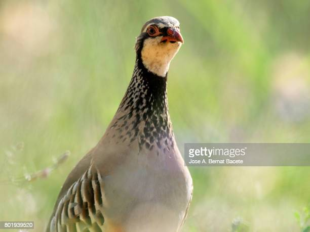 A red-legged partridge (Alectoris rufa), Camouflaged in the grass of the field, Spain