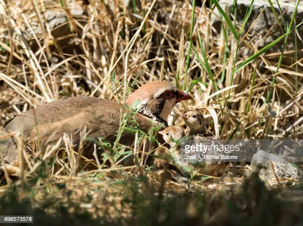 A red-legged partridge (Alectoris rufa), in his nest taking care to the chicks newborn children, Spain