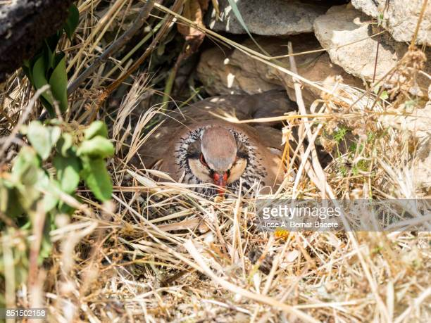 A red-legged partridge (Alectoris rufa) incubates its eggs in his nest, Spain