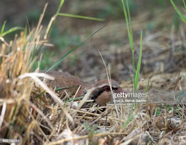 A red-legged partridge (Alectoris rufa) incubates its eggs, Spain