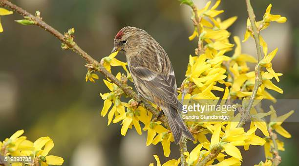 Redpoll perched on a yellow flowering Forsythia