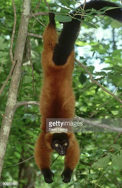 red-ruffed lemur: varecia variegata rubra