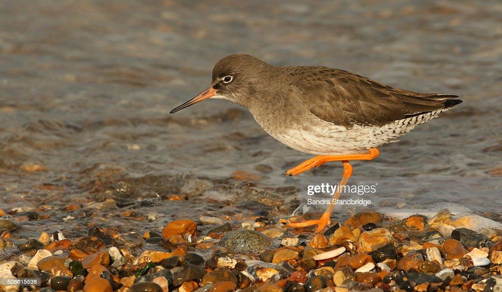 Redshank (Tringa totanus) : Stock Photo