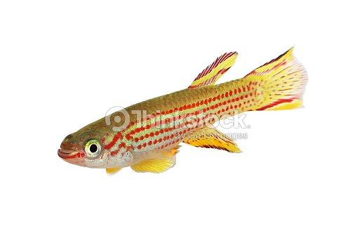 Redstriped Killifish Male Aphyosemion Striatum Tropical