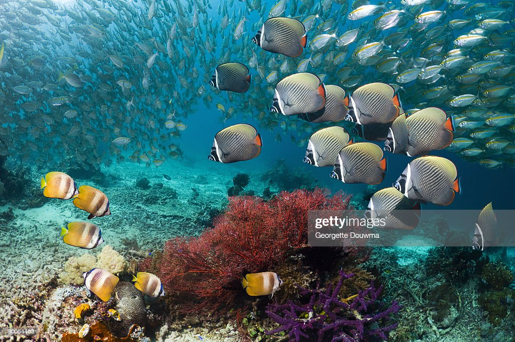 Redtail or Collared butterflyfish  : Stock Photo