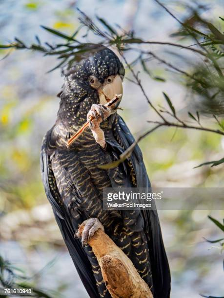 Red-tailed black cockatoo (Calyptorhynchus banksii) perching on branch