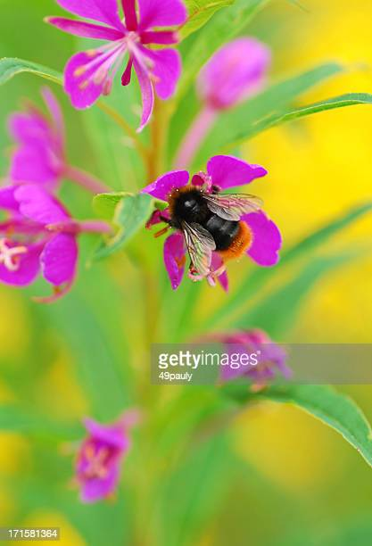 Red-tailed bumblebee auf Willowherb.