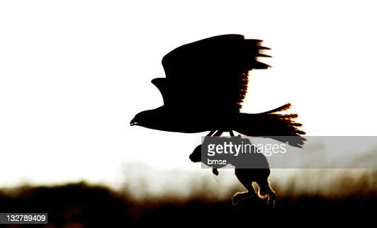 Redtailed Hawk With Rabbit Stock Photo   Getty Images