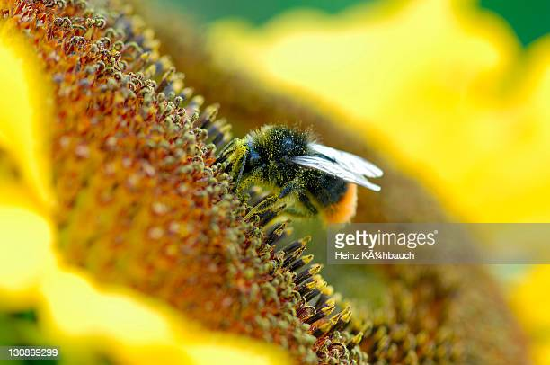 Red-tailed or Stone Bumble Bee (Bombus lapidarius) perched on a sunflower