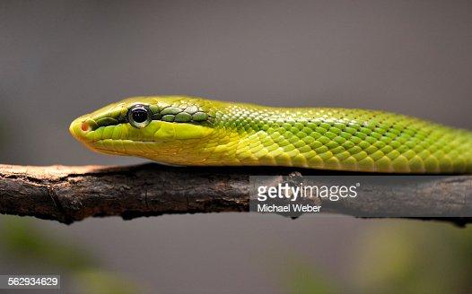 Red-tailed rattle snake -Gonyosoma oxycephala-