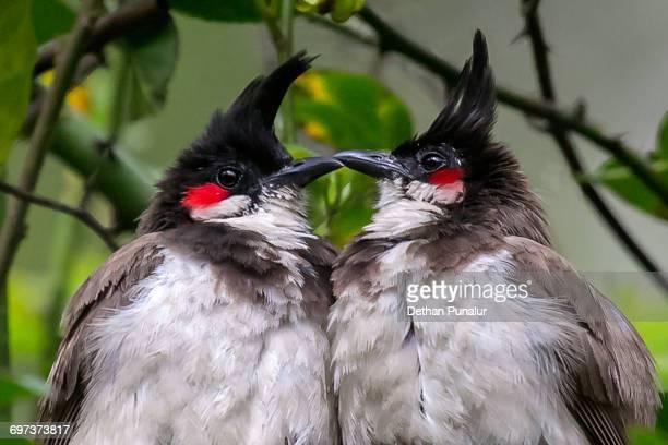 Red-whiskered bulbuls (Pycnonotus jocosus)