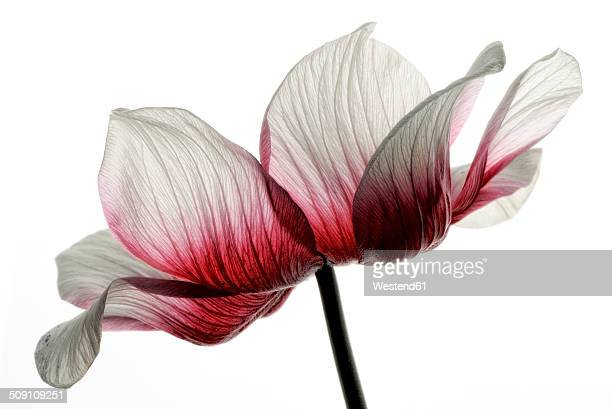 Red-white anemone in front of white background