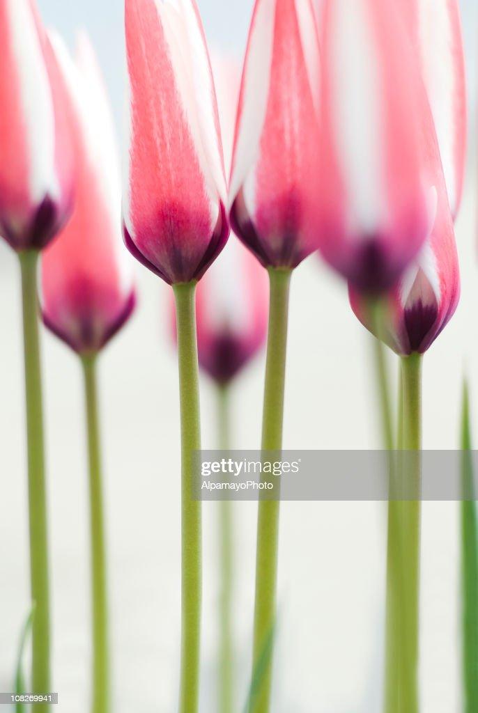 Red-white tulip (T. clusiana) - III : Stock Photo