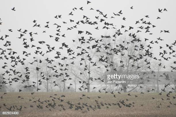 Red-winged Blackbird (Starling) Flock Swarming Over a Plowed Cornfield
