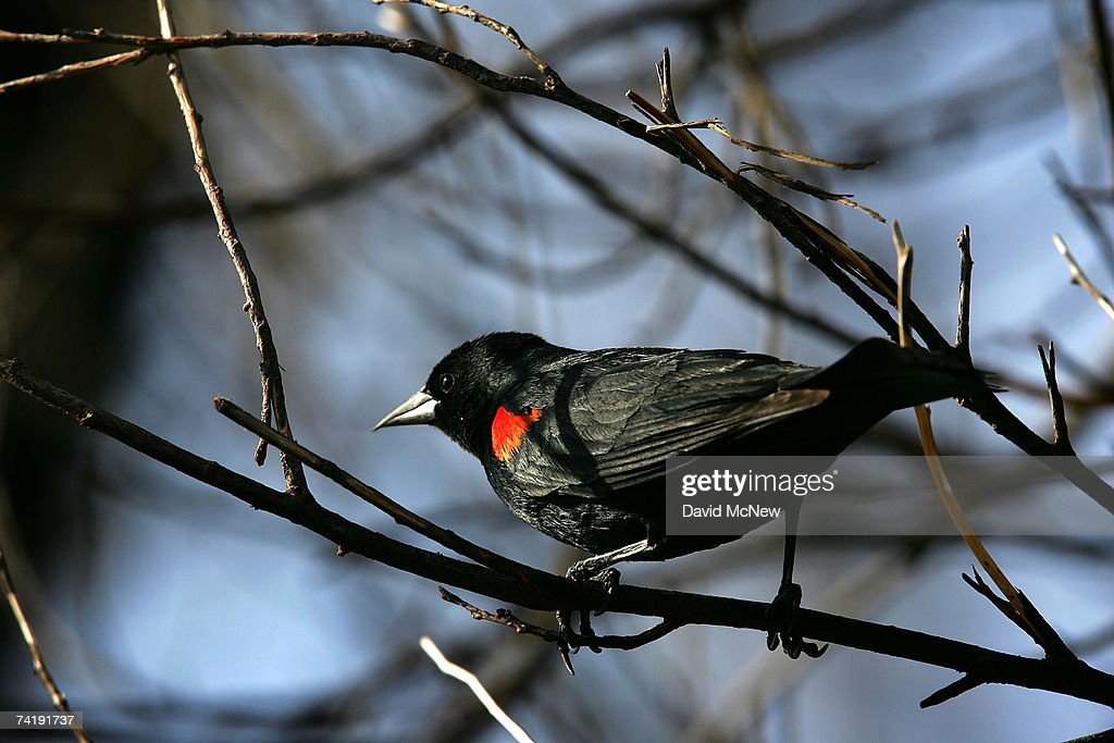 A red-winged blackbird perches in the charred branches of a wildfire-burned tree on May 18, 2007 near Gorman, California, 60 miles north of Los Angeles. The rain season in Los Angeles is shaping up as the driest since record-keeping began in 1872 and the region is now in an 'extreme' drought state, the second-driest ranking given by the National Drought Mitigation Center in Lincoln, Nebraska. Bark beetle infestations induced by overgrowth from the second-wettest winter on record two years ago have killed untold thousands of pines in the mountain areas. Fire officials say that conditions are right for wildfires of disastrous proportions and frequency in southern California this year.