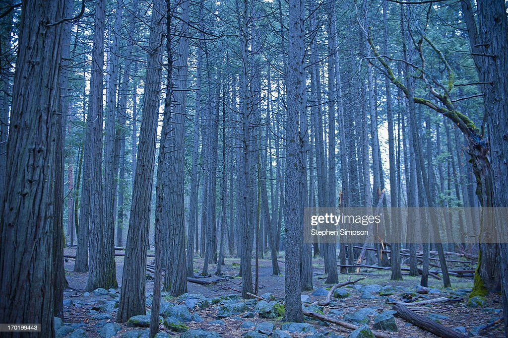 redwood forest and cool rainy day : Stock Photo