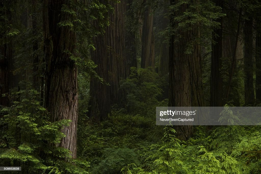 Redwood Forest : Stock Photo