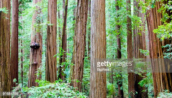 レッドウッド森林