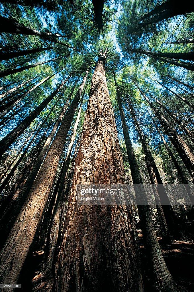 Redwood Forest, Poli Poli Park, Hawaii : Stock Photo