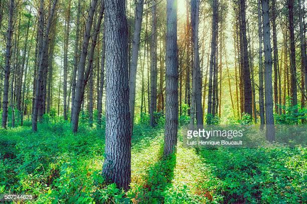 Redwood forest & sunlight