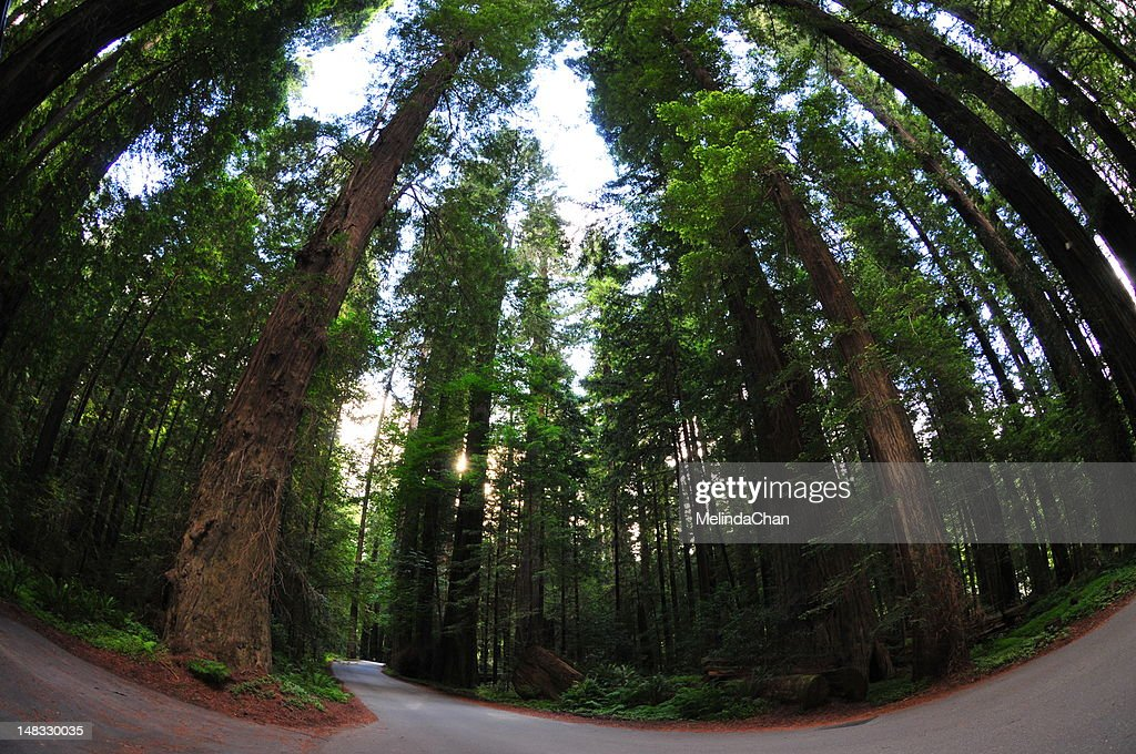 Redwood National Park : Stock Photo