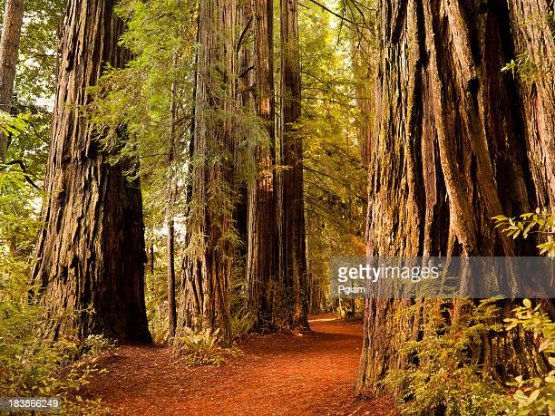 Redwood trail through trees in the forest