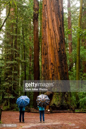 Redwood Trees Henry Cowell Sate Park