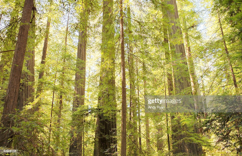 Redwood Trees in Forest. : Stock Photo