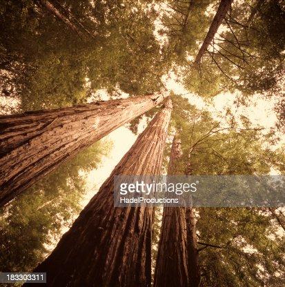 レッドウッドの木でカリフォルニア北部