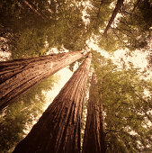 Redwood trees in Northern California