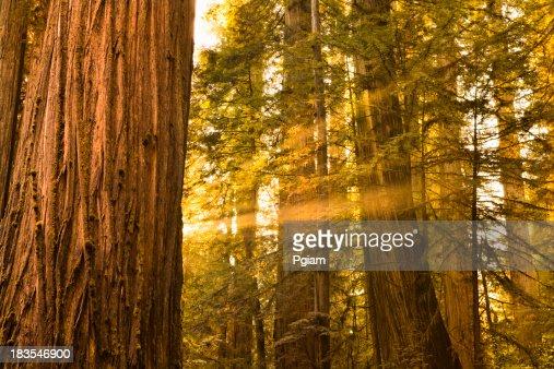 レッドウッド森林の木