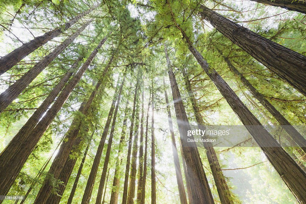 Redwood trees : Stock Photo