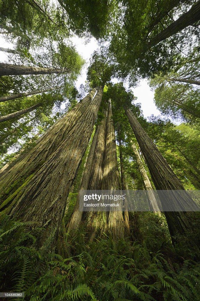 Redwood trees, Redwood National Park, California : Stock Photo