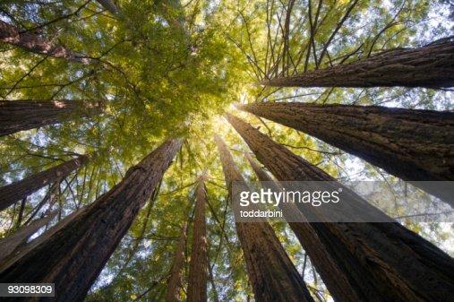 Redwood Trees Wide Angle
