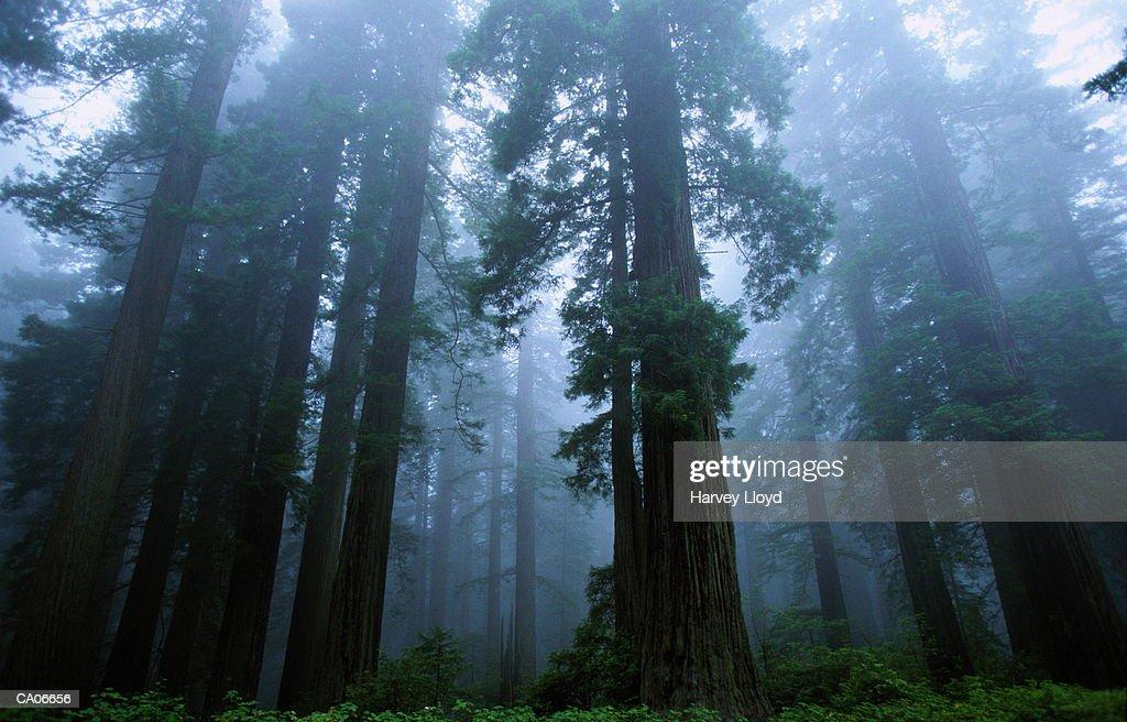 Redwoods (Sequoia sempiverens) in morning fog : Stock Photo